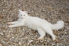 Achttien Maand Oude Witte Tom Cat Royalty-vrije Stock Foto