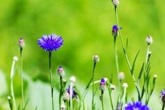 Aciano en un prado en un día soleado, abeja Fotos de archivo