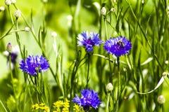 Aciano en un prado en un día soleado, abeja Imagen de archivo libre de regalías