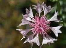Aciano hermoso por mañana del verano Foto macra de la flor fotos de archivo libres de regalías