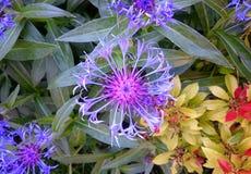 Aciano púrpura Foto de archivo