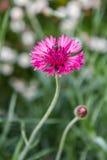 Aciano rosado con la abeja Imagen de archivo libre de regalías