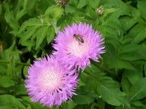 Aciano y abeja rosados del jardín Fotos de archivo