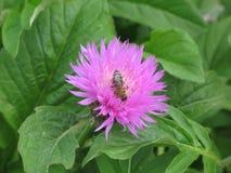 Aciano y abeja rosados del jardín Fotografía de archivo libre de regalías