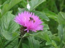 Aciano y abeja rosados del jardín Fotos de archivo libres de regalías