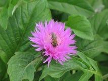 Aciano y abeja rosados del jardín Imagen de archivo