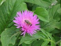 Aciano y abeja rosados del jardín Foto de archivo