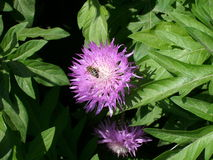 Aciano y abeja rosados del jardín Imágenes de archivo libres de regalías