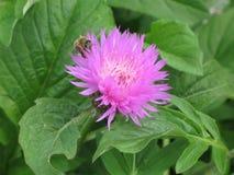 Aciano y abeja rosados del jardín Foto de archivo libre de regalías