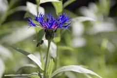 Aciano y la abeja Imágenes de archivo libres de regalías