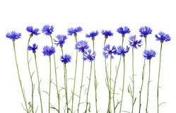 Acianos azules Fotos de archivo libres de regalías