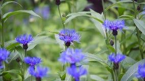 Acianos azules con el bokeh, fondo floral de la naturaleza almacen de video