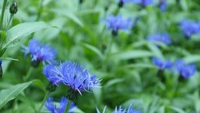 Acianos azules con el bokeh, fondo floral de la naturaleza almacen de metraje de vídeo