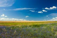 Acianos azules en un campo y nubes blancas en un cielo azul imagen de archivo