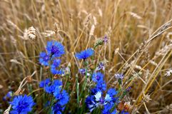 Acianos azules entre las espigas amarillas de trigo, un campo de acianos azules entre los oídos Fotografía de archivo libre de regalías