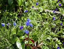 Acianos azules florecientes en un fondo de verde claro Imágenes de archivo libres de regalías