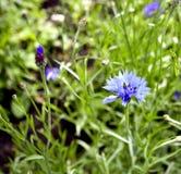 Acianos azules florecientes en un fondo de verde claro Fotos de archivo libres de regalías