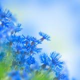 Acianos azules salvajes Fotografía de archivo libre de regalías