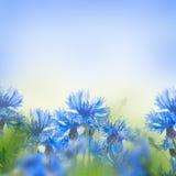 Acianos azules salvajes Imagen de archivo libre de regalías