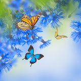 Acianos azules salvajes Imagenes de archivo