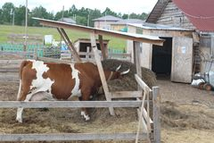 Łaciasta czerwieni i bielu krowa na gospodarstwie rolnym Krowa je siano Rosyjski wiejski krajobraz Zdjęcie Royalty Free