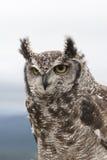 Łaciasta Eagle sowa Zdjęcia Stock