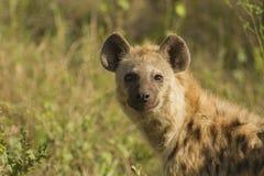 Łaciasta hiena Obrazy Stock