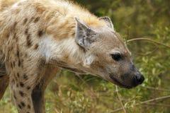 Łaciasta hiena Fotografia Royalty Free