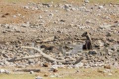 Łaciasta hiena Zdjęcia Stock