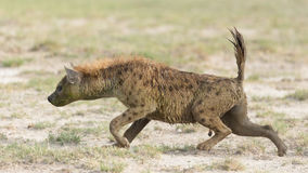 Łaciasta hiena w Amboseli, Kenja Zdjęcie Stock