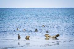 Łaciaste foki, Rebun wyspa, Japonia Obraz Stock