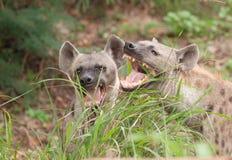 Łaciaste hieny Obrazy Stock