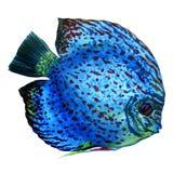 Łaciasty błękitny dysk odizolowywający na bielu Obraz Stock