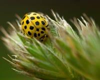 Łaciasty cytryny Ladybird, Psyllobora vigintiduepunctata Fotografia Stock