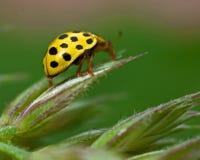 Łaciasty cytryny Ladybird, Psyllobora vigintiduepunctata Obrazy Stock