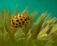 Łaciasty cytryny Ladybird, Psyllobora vigintiduepunctata Zdjęcia Royalty Free