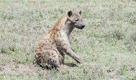 Łaciasty hieny Crocuta crocuta na Trawiastych równinach Serengeti Fotografia Royalty Free