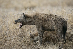 Łaciasty hyaena, Crocuta crocuta, Obraz Royalty Free