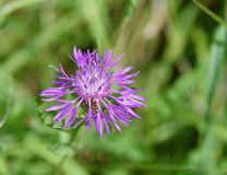 Łaciasty knapweed kwiat Obrazy Stock
