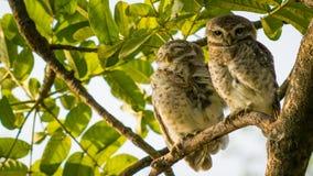 Łaciasty Owlet Zdjęcie Royalty Free