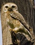 Łaciasty owlet Athene brama Obraz Stock