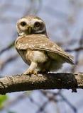 Łaciasty owlet Athene brama Zdjęcia Stock