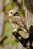 Łaciasty owlet Athene brama Zdjęcie Royalty Free