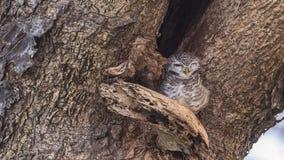 Łaciasty Owlet dosypianie Zdjęcia Stock