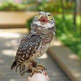 Łaciasty owlet lub athene brama ptak Zdjęcia Royalty Free