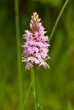 Łaciasty storczykowy kwiat Obraz Royalty Free