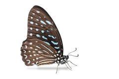Łaciasty zebra motyl Obraz Royalty Free