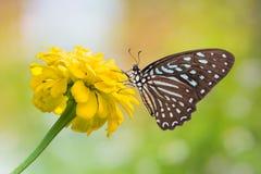 Łaciasty zebra motyl Zdjęcia Stock