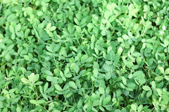 Łaciaty arachid Obraz Stock