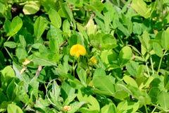 Łaciaty arachidowy kwiat Zdjęcia Stock